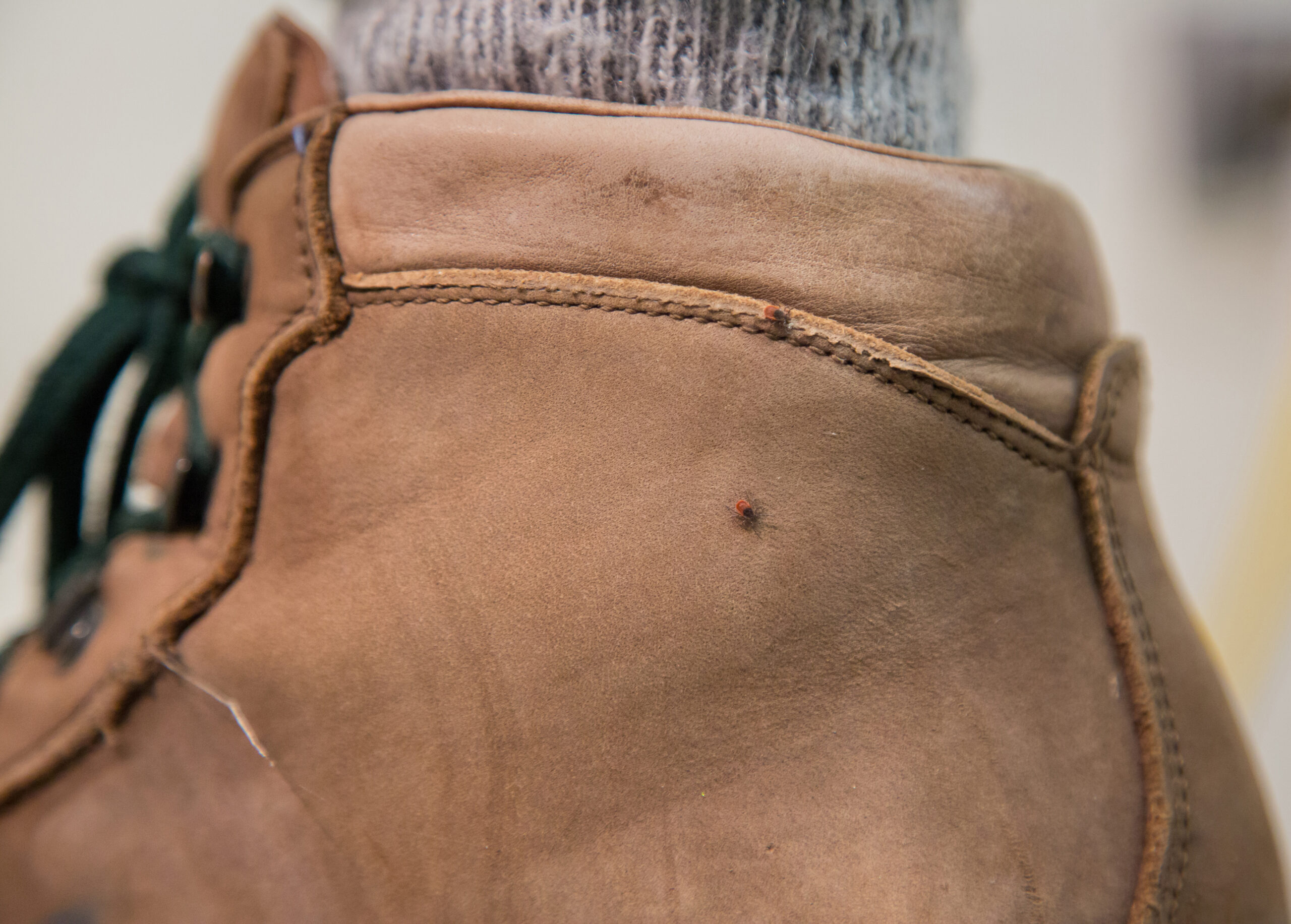 Photo of two nymphal blacklegged ticks on a hiking boot.